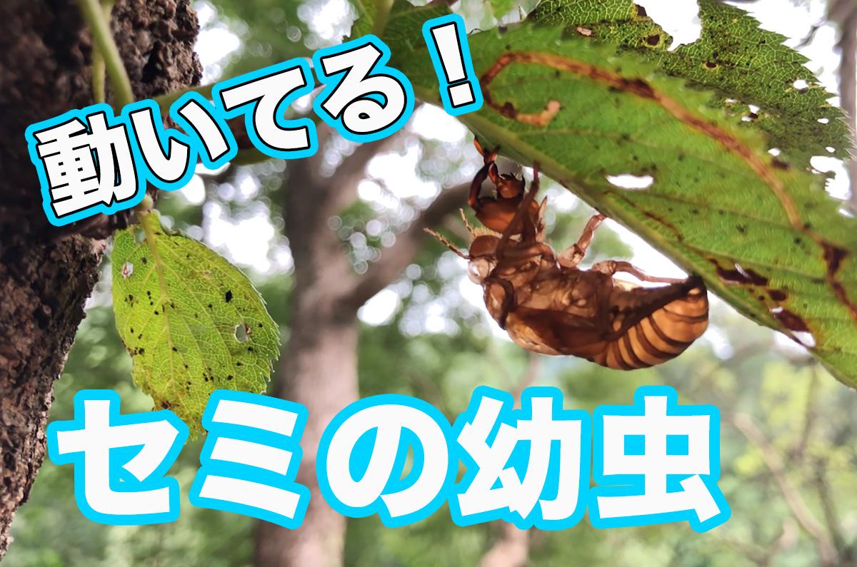 セミの幼虫が羽化する前に遭遇「昆虫好きの人や、お子さまにどうぞ!」 / 羽化するセミの観察に必要な物
